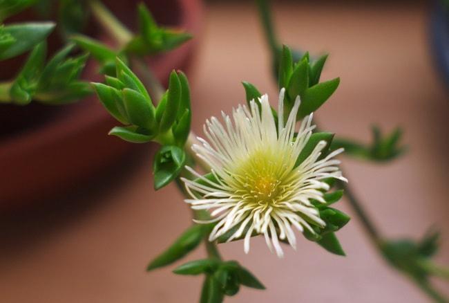 Kanna flower