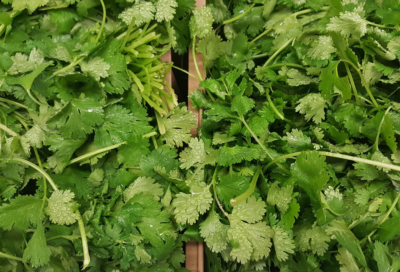 coriander (cilantro)